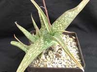 Aloe inamara