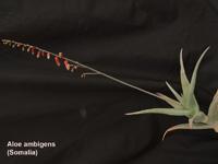 Aloe ambigens