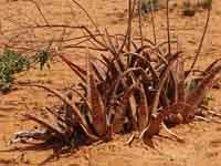 Aloe citrina