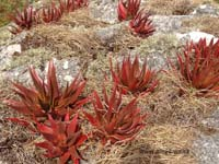 Aloe iringaensis