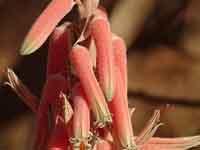 Aloe pubescens