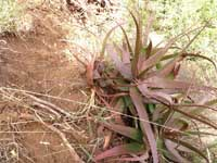 Aloe yavellana