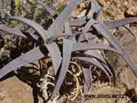 Aloe medishiana