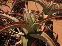 Aloe gilbertii