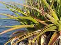Aloe pembana